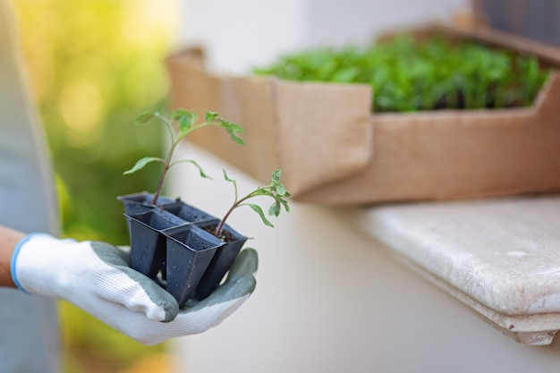 Tomatoes seedlings at hands in gloves keep sprout is going o plant into plastic pot, transportayion before plant in ground outdoor. blurred box with seedlights on a background