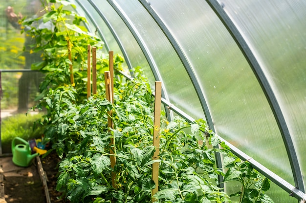 Tomatoes twigs in greenhouse. plant growing