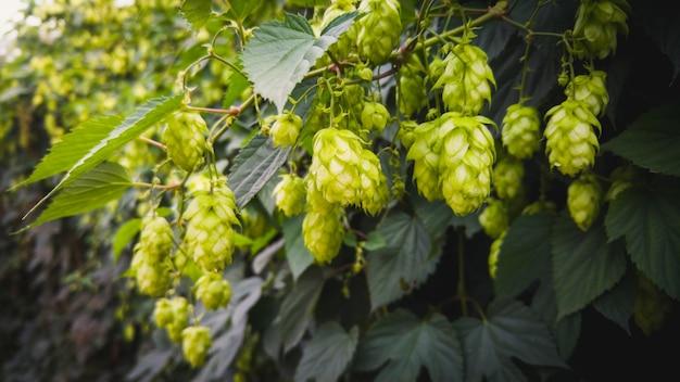フェンスに生えるグリーン ホップのトーンのクローズ アップ画像。ホップはビールの醸造や醸造に使用されます
