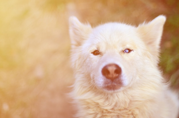 Toned portrait of the white siberian samoyed husky dog with heterochromia (a phenomenon when the eyes have different colors)