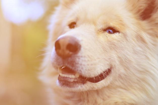 Toned portrait of the white siberian samoyed husky dog with heterochromia