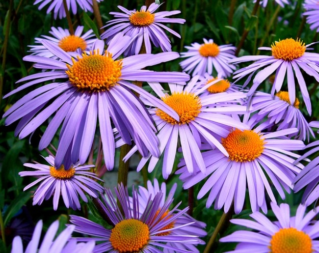 Tongolensis астра лиловый цветок ромашка michelmas