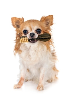 Toothbrush candy and chihuahua in front of white background