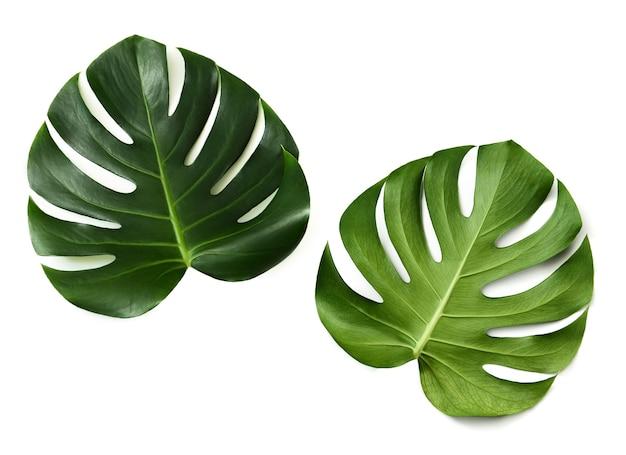 흰색 배경에 고립 된 monstera 잎의 위쪽 및 아래쪽. 양쪽에 monstera 잎.