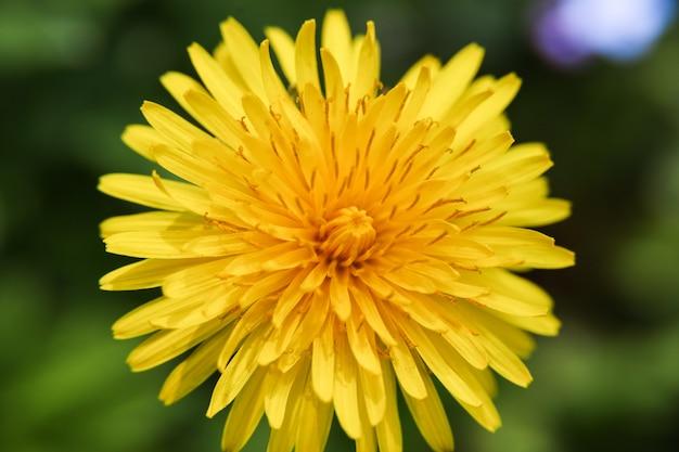 新緑のタンポポの花の新鮮な花びらの上の角度マクロビュー