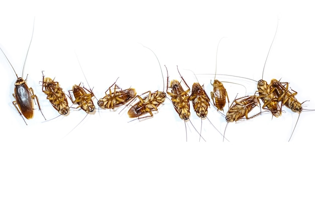 Top and bottom cockroach thailand isolated on white background, copy space.