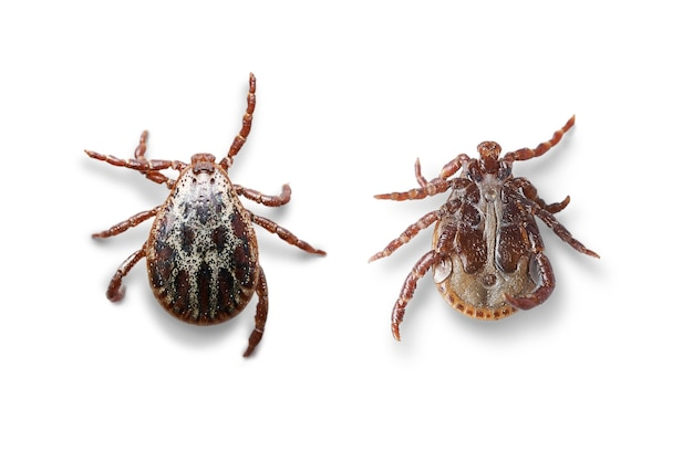 Top and bottom views of a male mite isolated on the white background with shadows