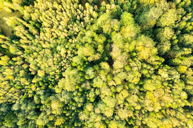 Top down aerial view of bright green spruce and yellow autumn trees in fall forest.