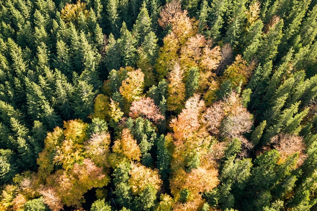 Top down aerial view of green and yellow autumn forest with many fresh trees.