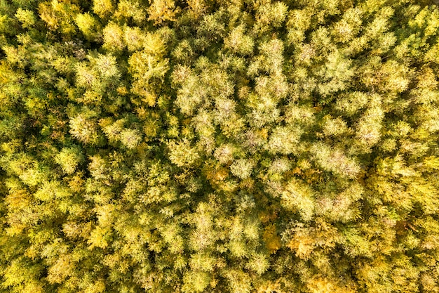 Top down aerial view of green and yellow canopies in autumn forest with many fresh trees.