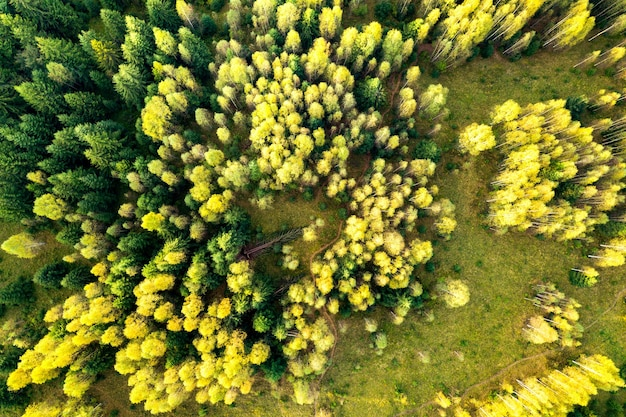 가을 숲에 있는 밝은 녹색 가문비나무와 노란색 가을 나무의 공중 전망을 하향식으로 감상하세요.
