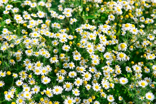 Сверху вниз красивое поле зеленой травы и ромашек как фон в природе, крупным планом