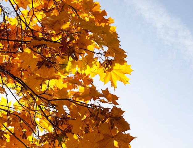 The top of the maple with yellowed foliage in autumn. photo close-up, view from below. sunlight shines through the leaves