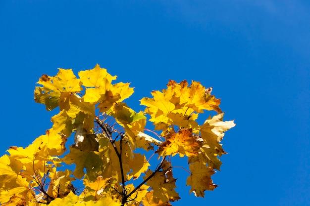 オレンジ色の葉を持つカエデの木のてっぺん