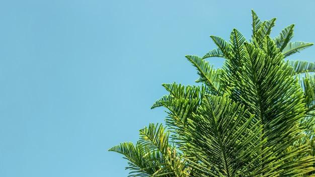 배너 크기와 함께 여름날 맑은 하늘에 소나무 꼭대기