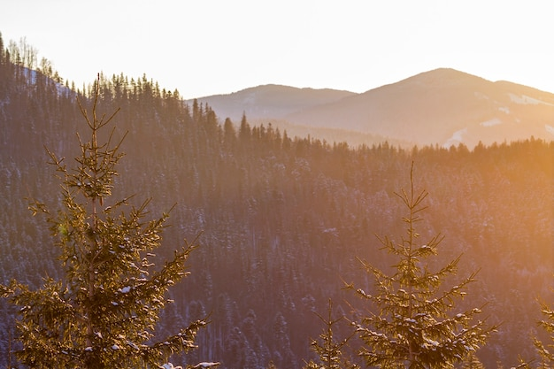 Top of pine trees in winter forest at sunset.