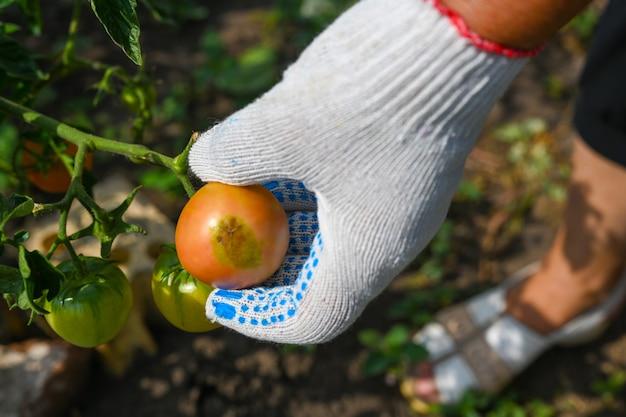 토마토의 최고 부패. 토마토는 꽃이 피고 바닥에서 썩습니다. 농부는 정원에서 토마토를 확인합니다. 농부의 손입니다. 농업, 원예, 채소 재배.
