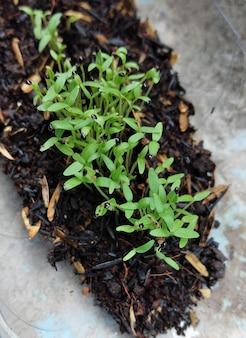 Верхний снимок рассады шпината после прорастания семян