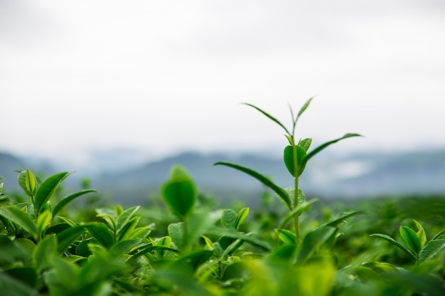 Top of the tea leaves in the farm