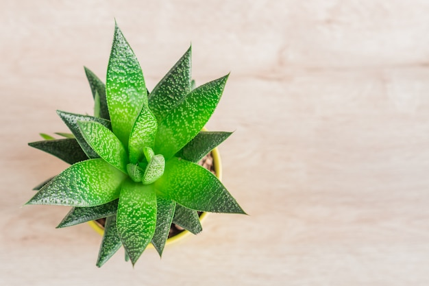 Top view of aloe vera plant in yellow ceramic pot, houseplant, domestic gardening.