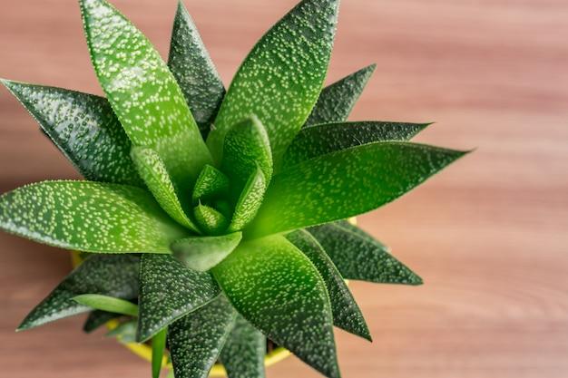 Top view of aloe vera plant in yellow ceramic pot, houseplant, domestic gardening.