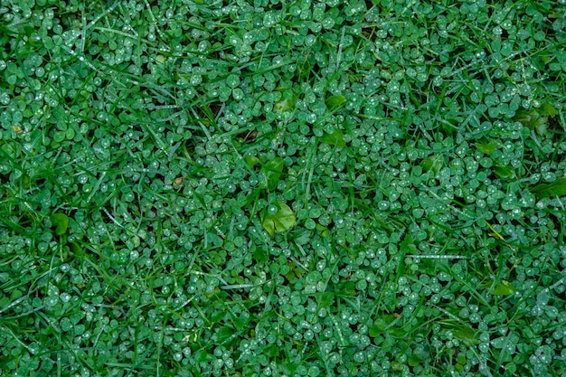 Вид сверху: фон влажной зеленой травы, в основном клевера, после дождя с видимыми каплями.