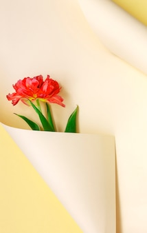 Top view of beautiful fresh red tulip in paper swirl