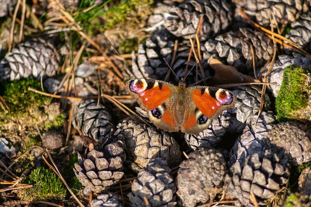 Top view of a beautiful peacock butterfly on pine cone pile on the autumn forest ground