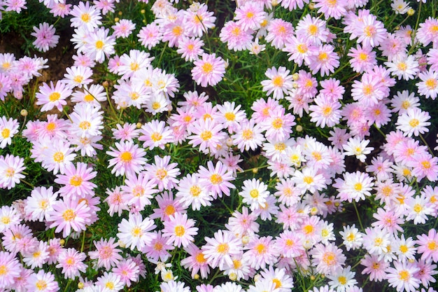 Top view of beautiful sweet pink daisy or chamomile flowers blooming in a sunny day