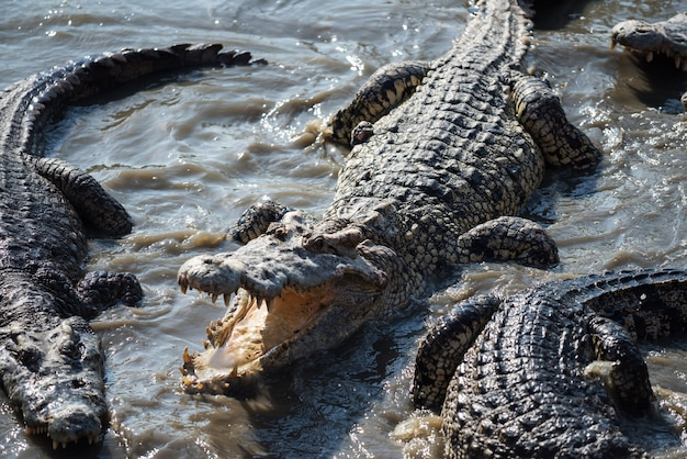 Top view of big crocodiles on swamp pond in forest. group of dangerous animal wildlife on water.
