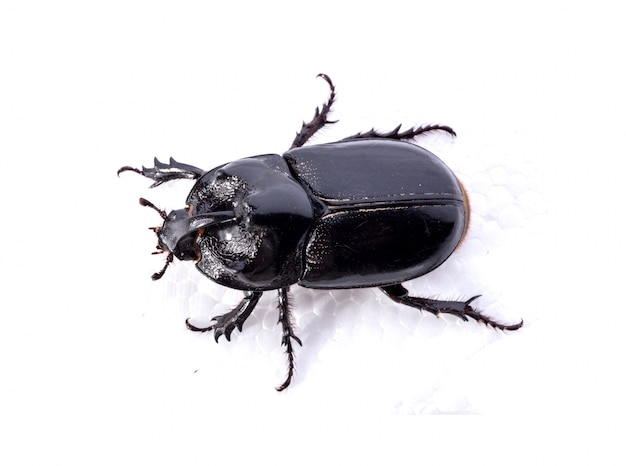 Top view of black beetle on white background