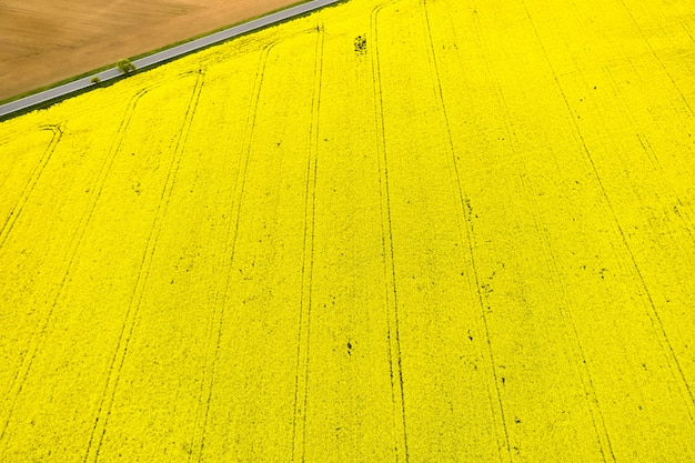 Top view on a bright yellow rapeseed field and part of an empty field separated by road in a corner. natural texture with copy space.