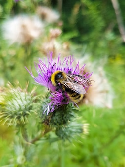 Top view of a bumblebee on a thistle flower