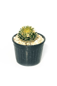 Top view cactus in pot isolated on white