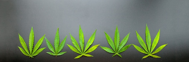 Top view of cannabis leaf on black background. marijuana leaves
