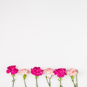Top view of carnation flowers