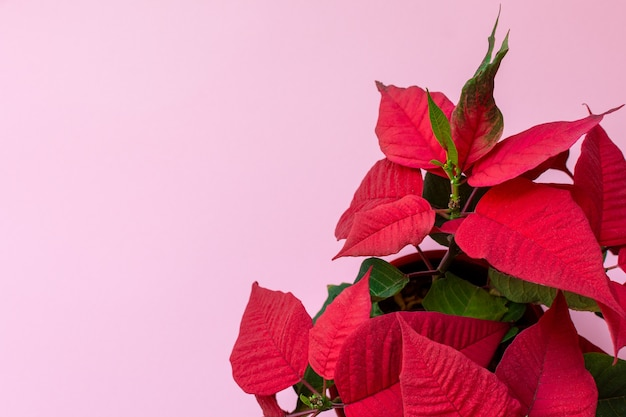 Top view on the christmas flower poinsettia on pink background