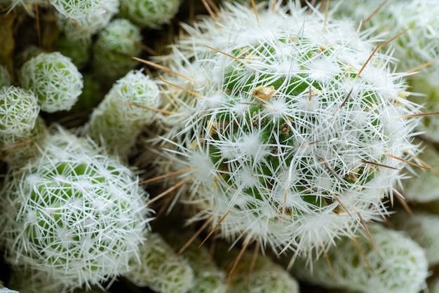 白い針が付いている美しい緑のサボテンの周りの上面図のクローズアップ緑の自然砂漠のエキゾチックな植物相...