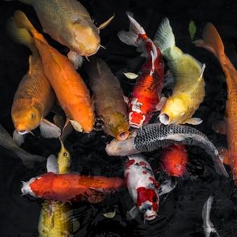 Вид сверху красочные рыбы кои