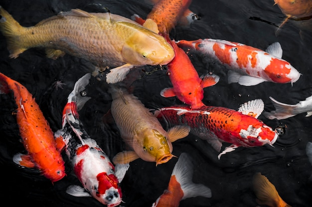 Top view colorful koi fishes