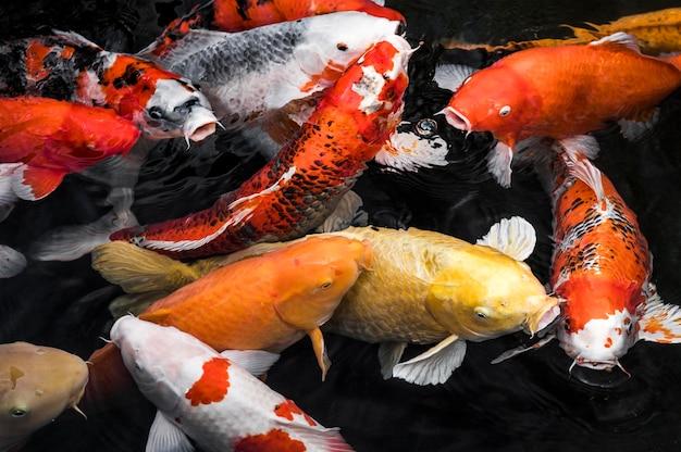상위 뷰 다채로운 잉어 물고기