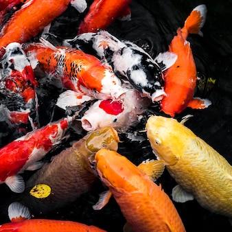 Vista dall'alto colorati pesci koi