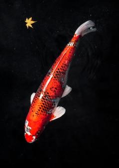 上面図カラフルな鯉