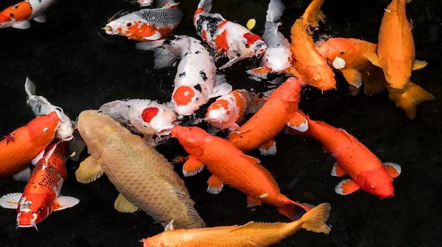Cara Merawat Kondisi Air Kolam Ikan Koi