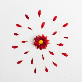 Top view of colorful spring daisy with petals