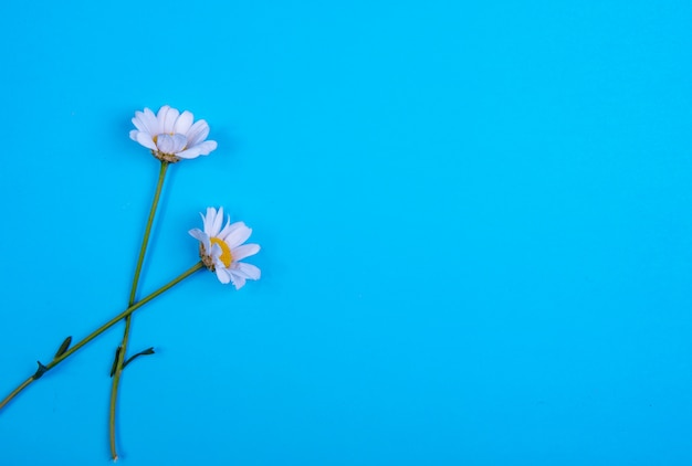 Top view copy space chamomile on a blue background