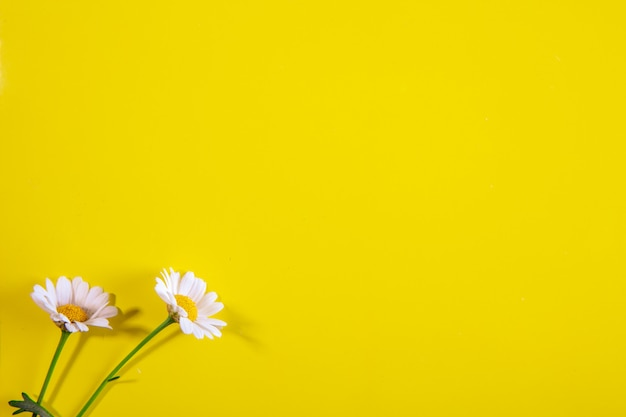 Top view copy space chamomile on a yellow background