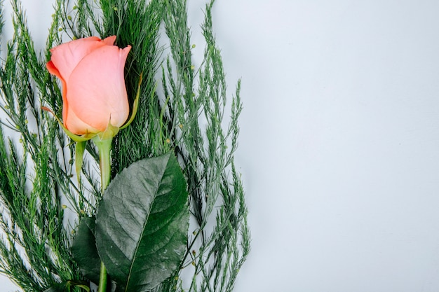 Vista superiore del fiore di corallo della rosa di colore con asparago isolato su fondo bianco con lo spazio della copia