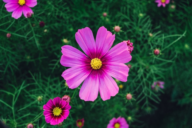 Top view of cosmos flower and pink starship flower on the wayside