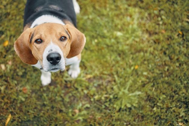 Vista dall'alto del simpatico cane in piedi sull'erba verde e alla ricerca